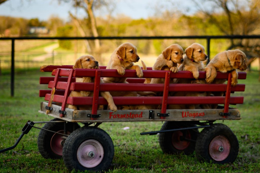 Bolderkar-puppies